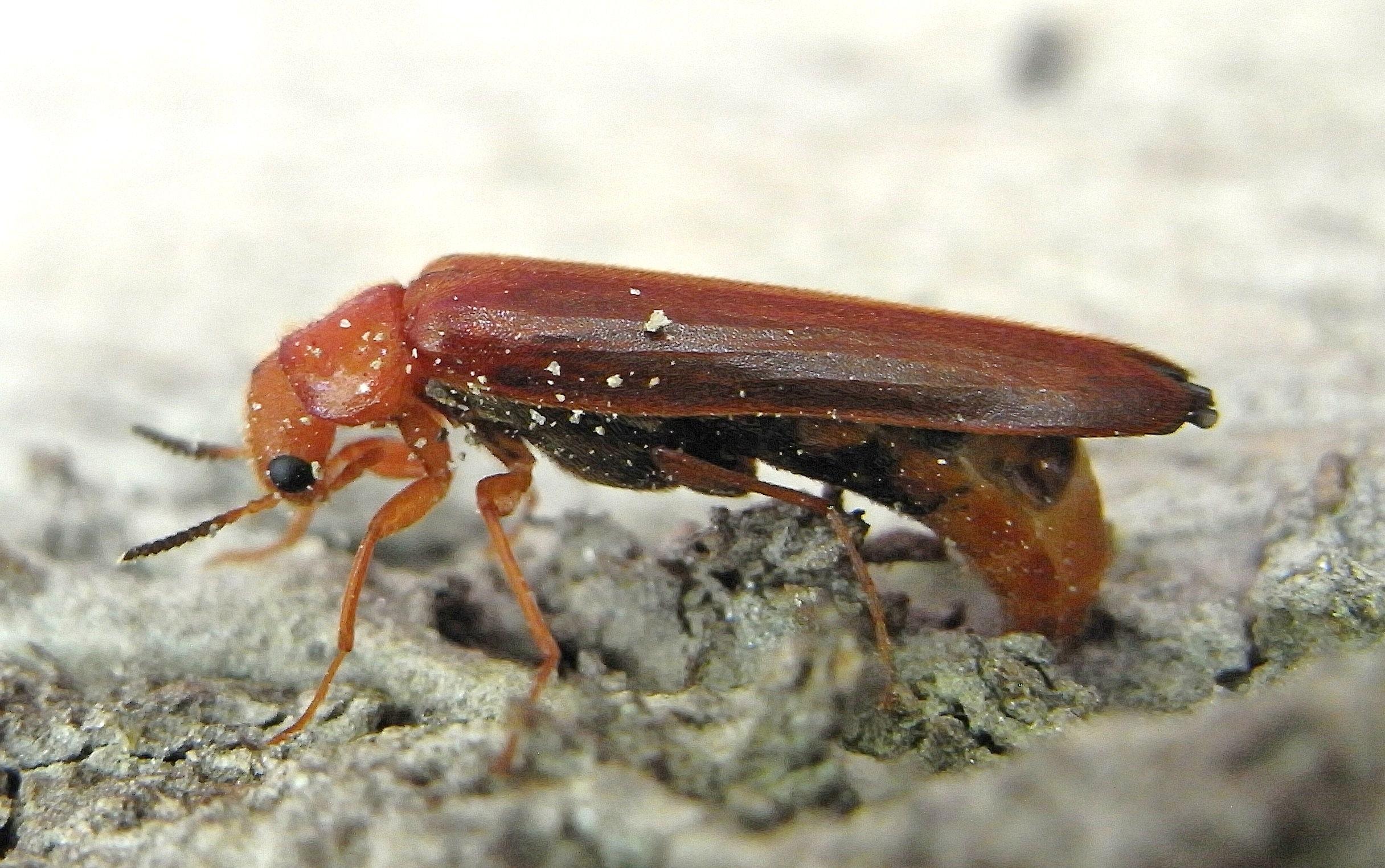 Image of <i>Hylecoetus dermestoides</i>