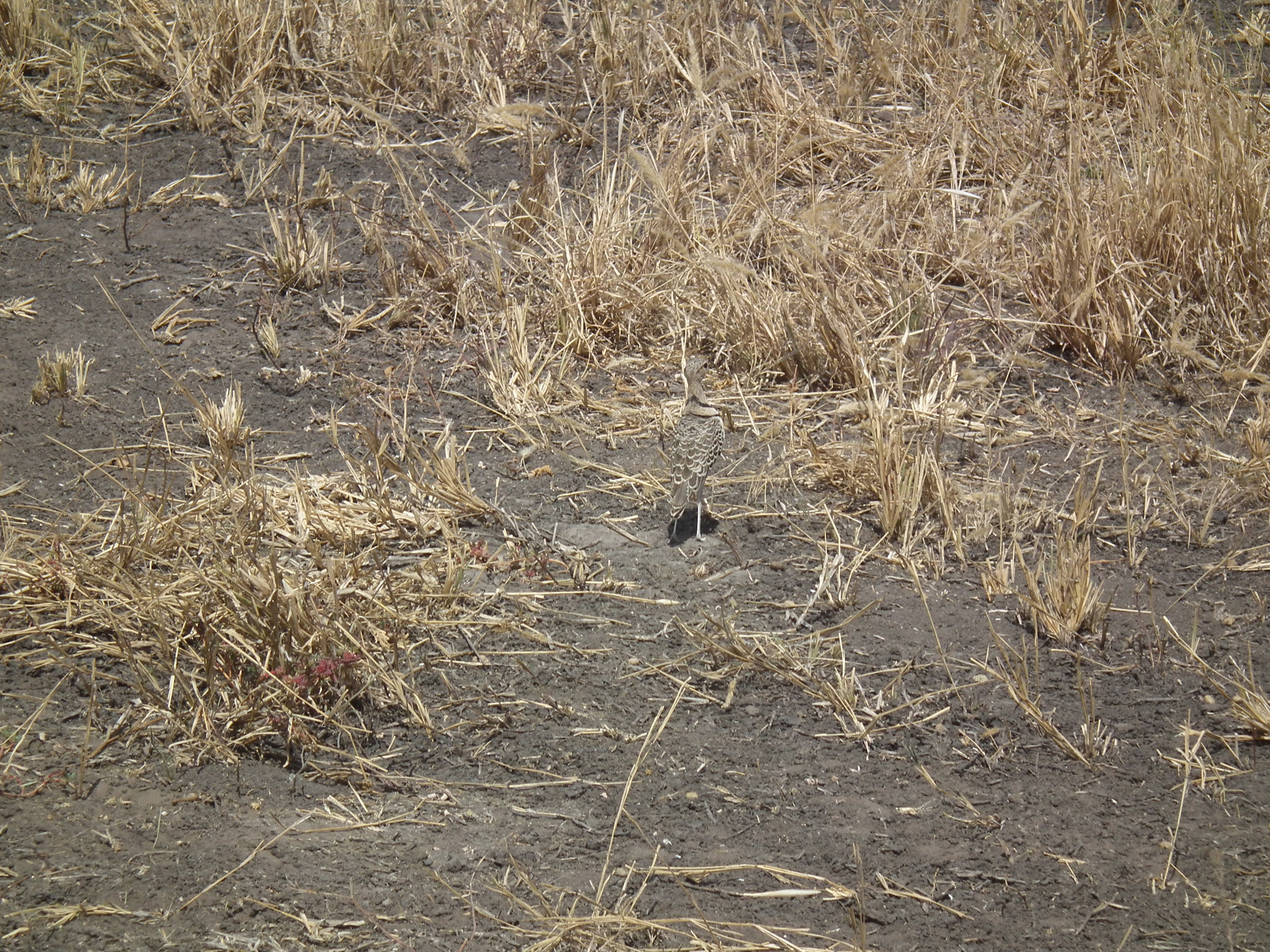 Image of Double-banded Courser