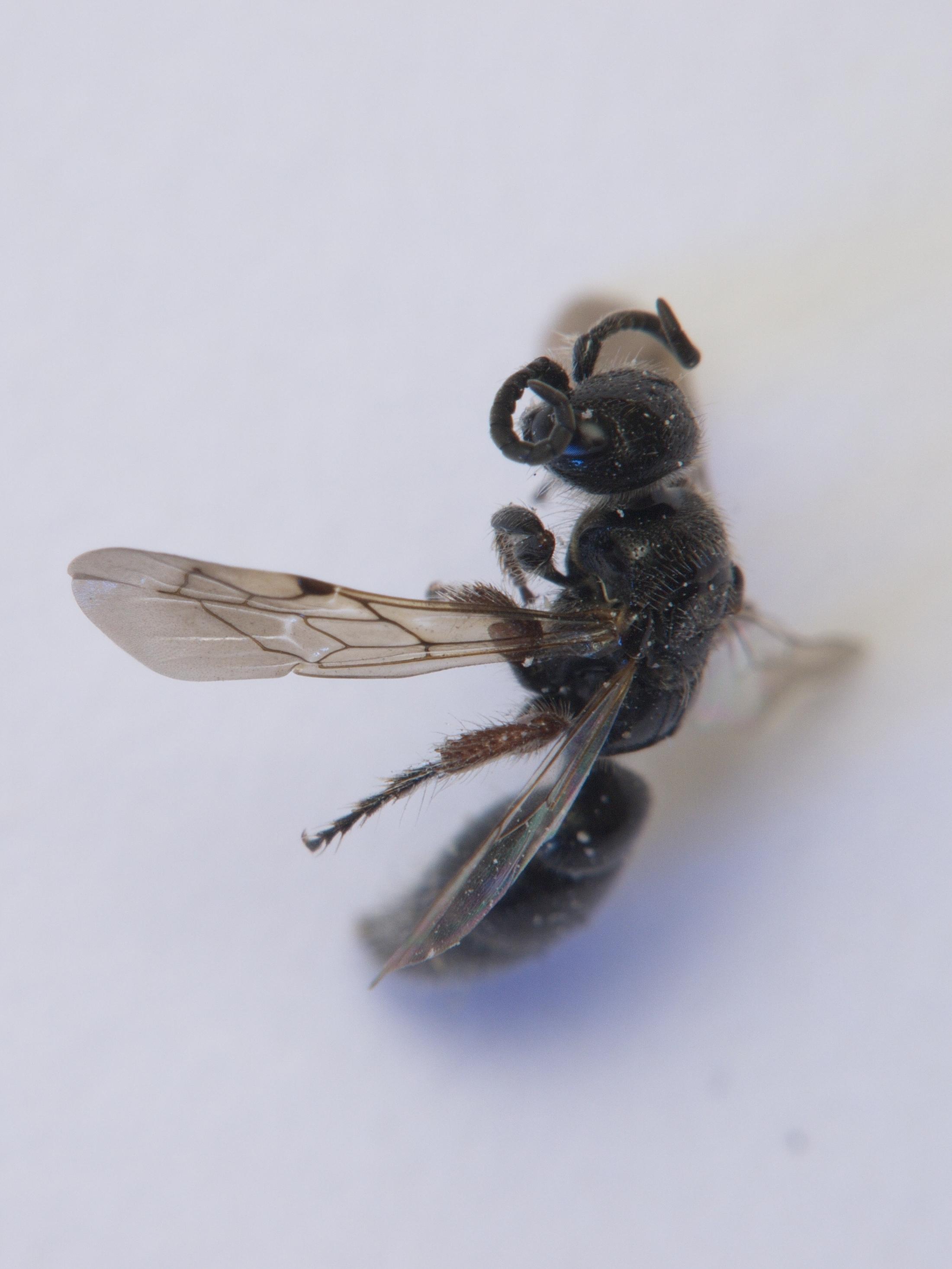 Image of <i>Tiphia femorata</i> Fabricius 1775