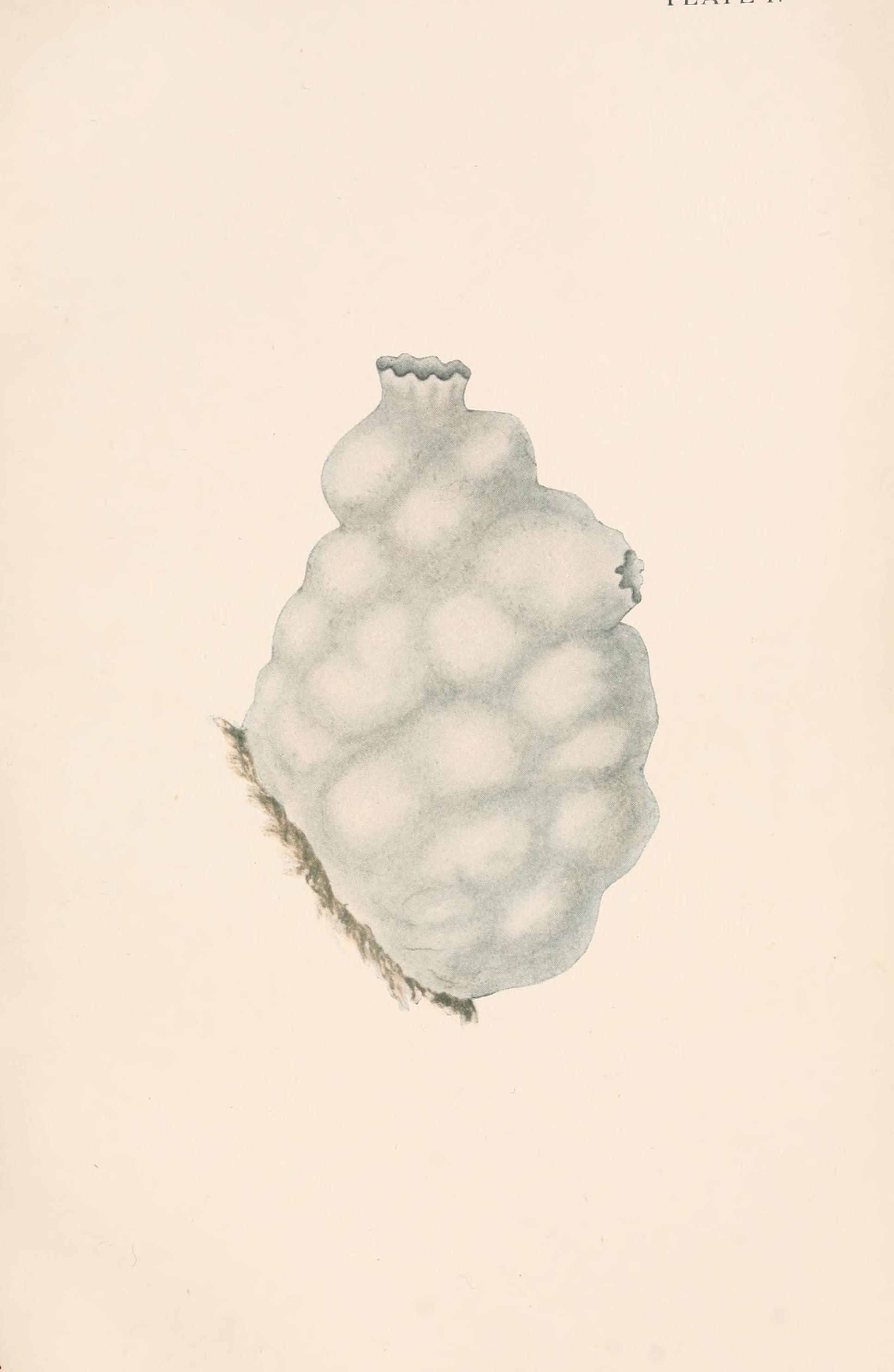 Image of white sea-squirt