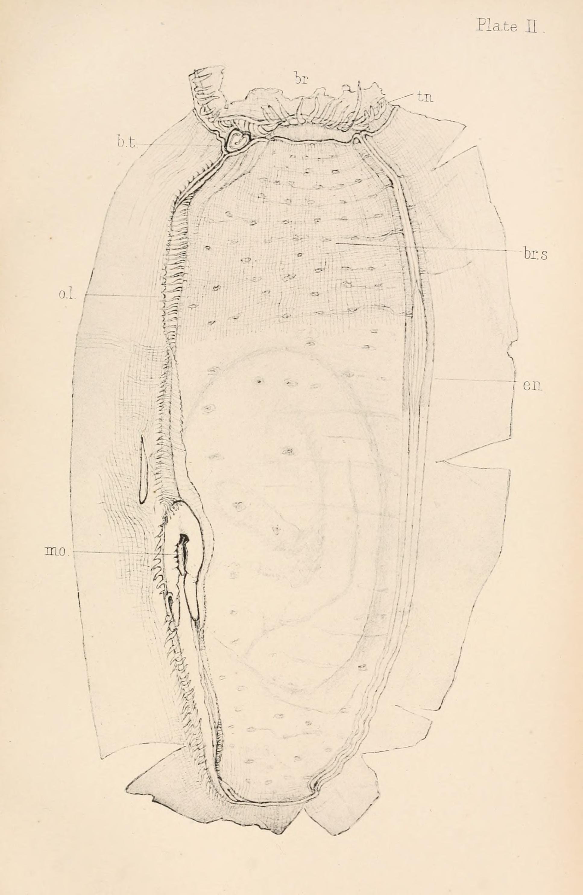 Image of <i>Ascidia mentula</i> Müller 1776