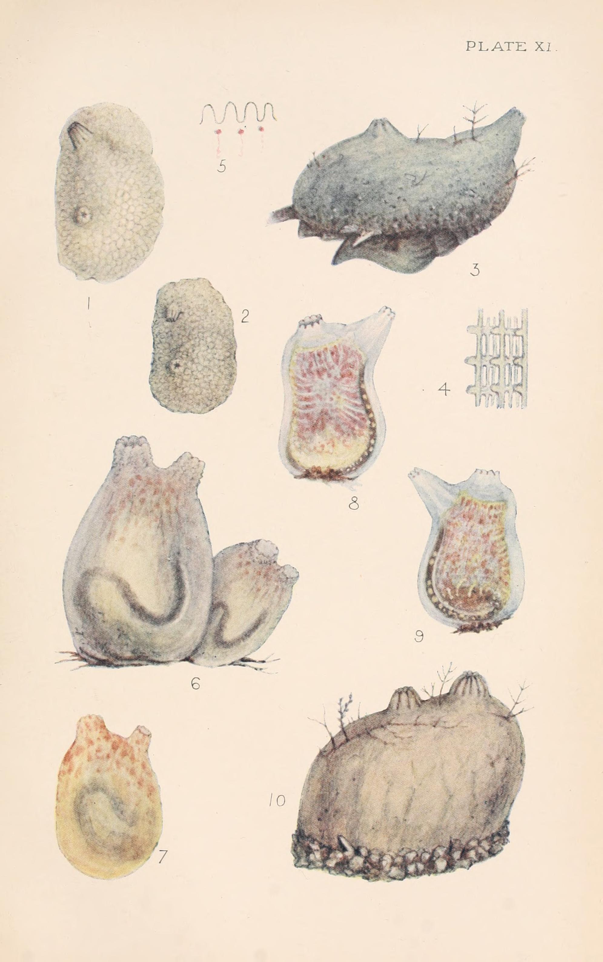 Image of Tunicate