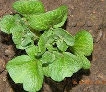 Image of Russian Potato