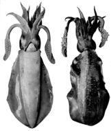 Image of bigfin reef squid