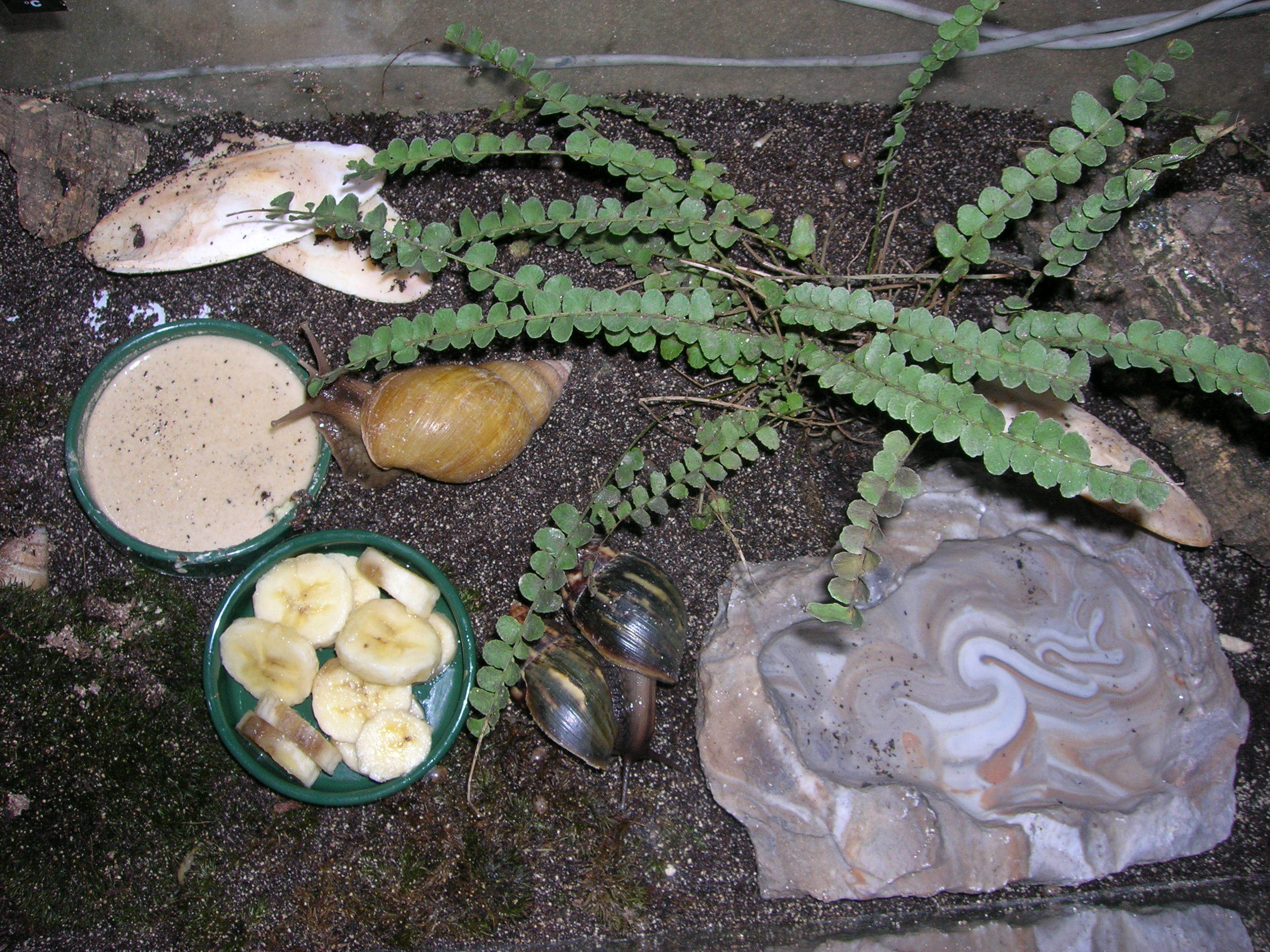 Image of <i>Achatina fulica</i>