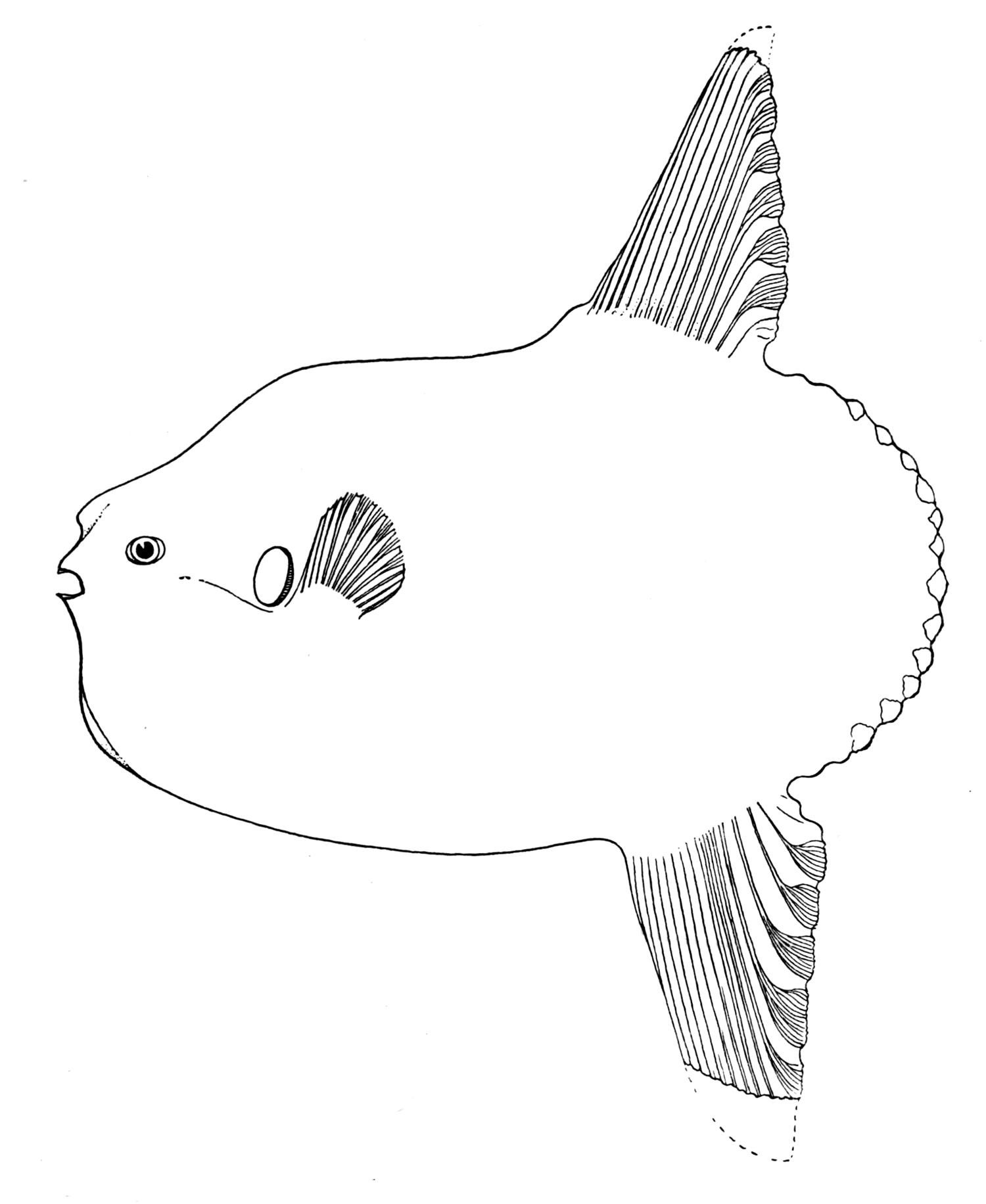 Image of <i>Mola ramsayi</i> (Giglioli 1883)
