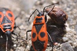 Image of <i>Pyrrhocoris apterus</i>