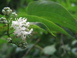 Image of Seven Son Flower