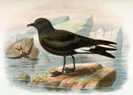 Image of Guadalupe Storm Petrel