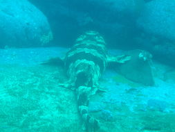 Image of Spotted Wobbegong
