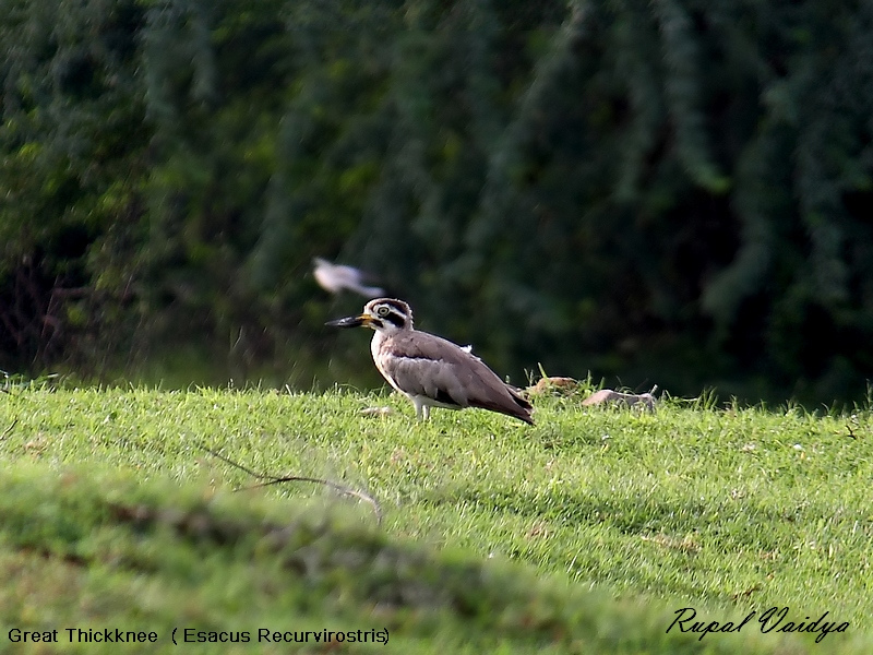 Image of Great Stone-curlew