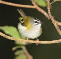 Image of Kinglet