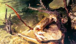Image of <i>Potamon fluviatile</i> (Herbst 1785)