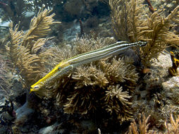 Image of Trumpetfish