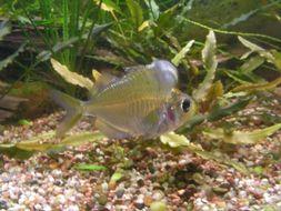 Image of Humphead Glassfish