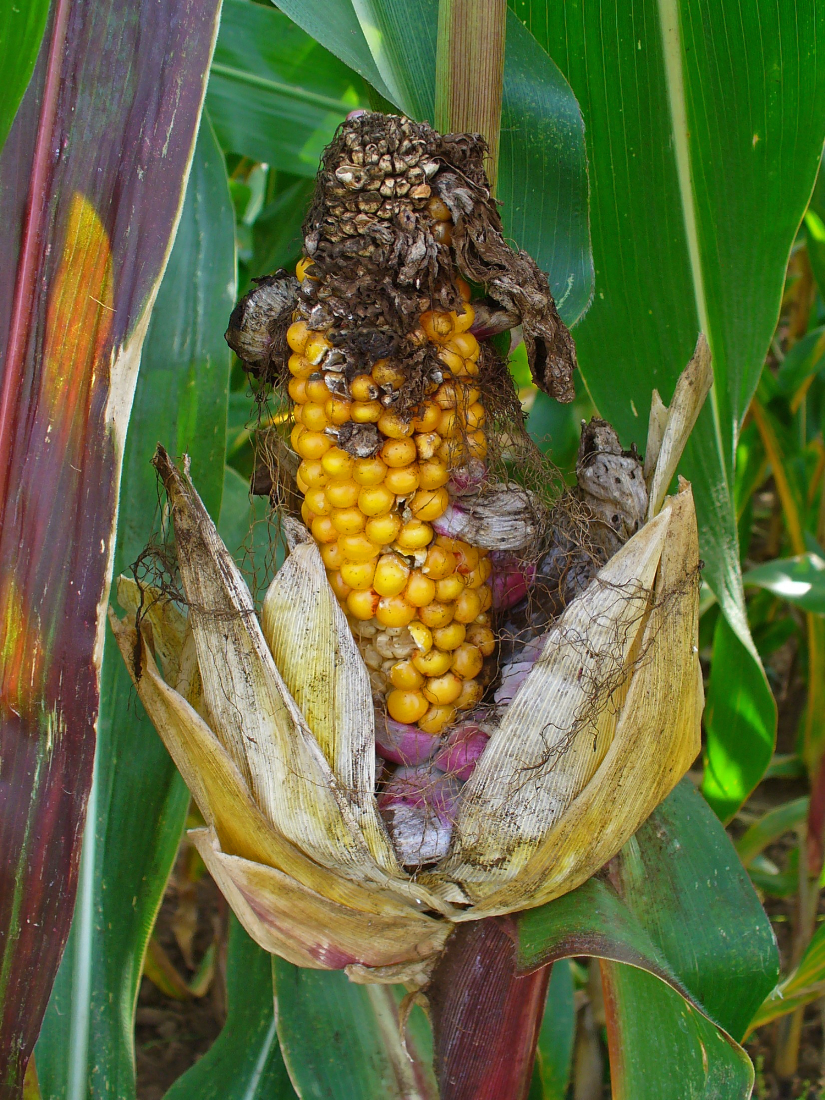 Image of corn smut