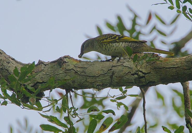 Image of Black Cuckoo-shrike