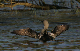 Image of Arctic loon