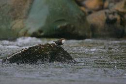 Image of Dipper
