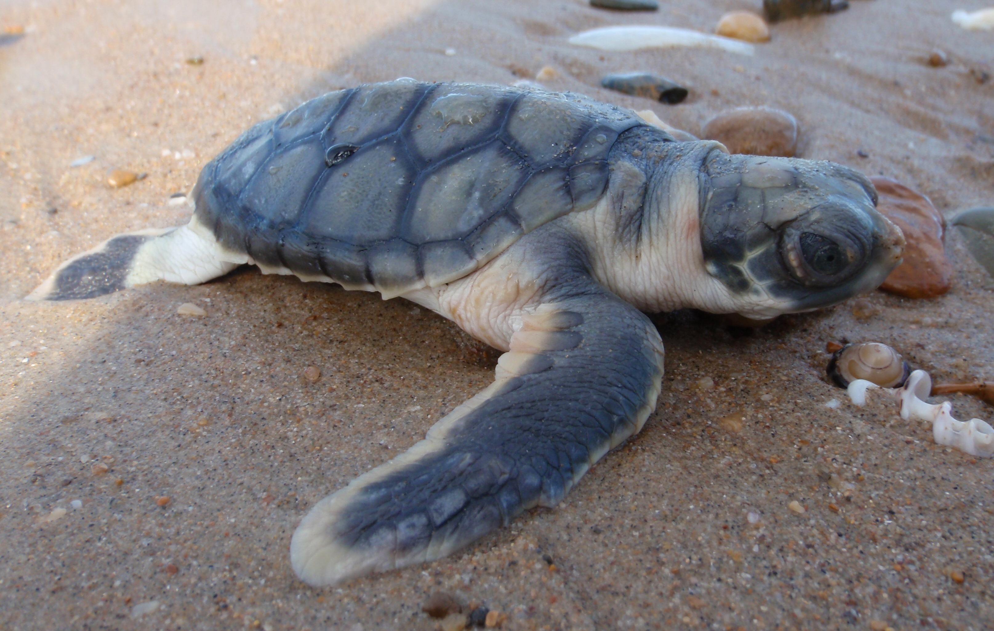Image of Flatback turtle