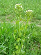 Image of field pennycress