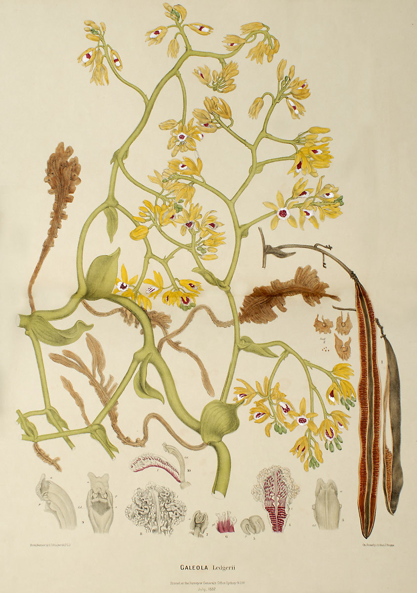 Image of Pseudovanilla
