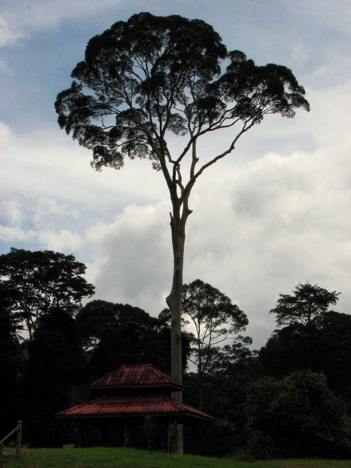 Image of Dipterocarpus