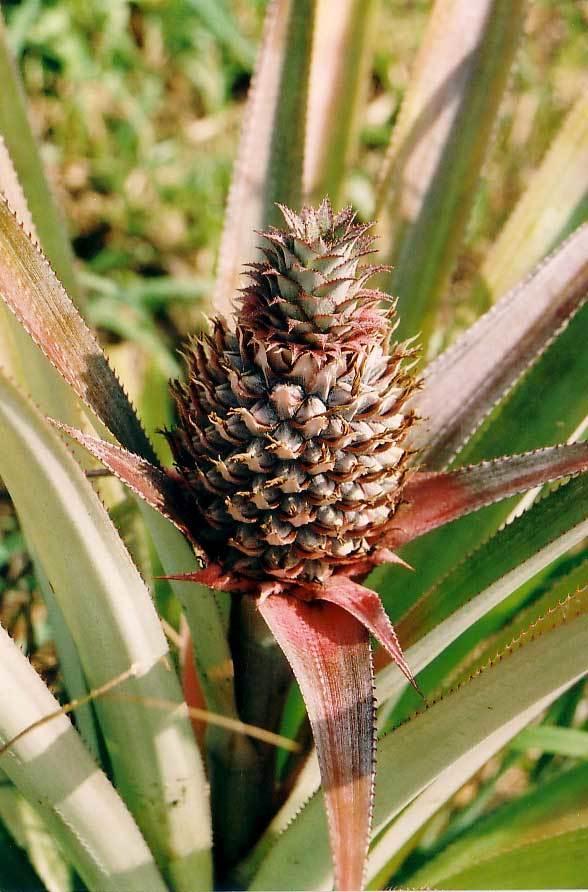 Image of Pineapple