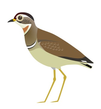 Image of Jerdon's Courser