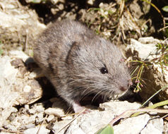 Image of European Snow Vole