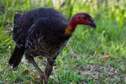 Image of Australian brush turkey