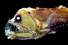 Image of Dannevig's Dragonfish