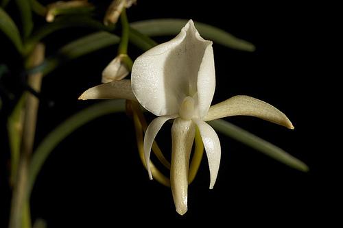 Image of <i>Angraecum scottianum</i> Rchb. fil.