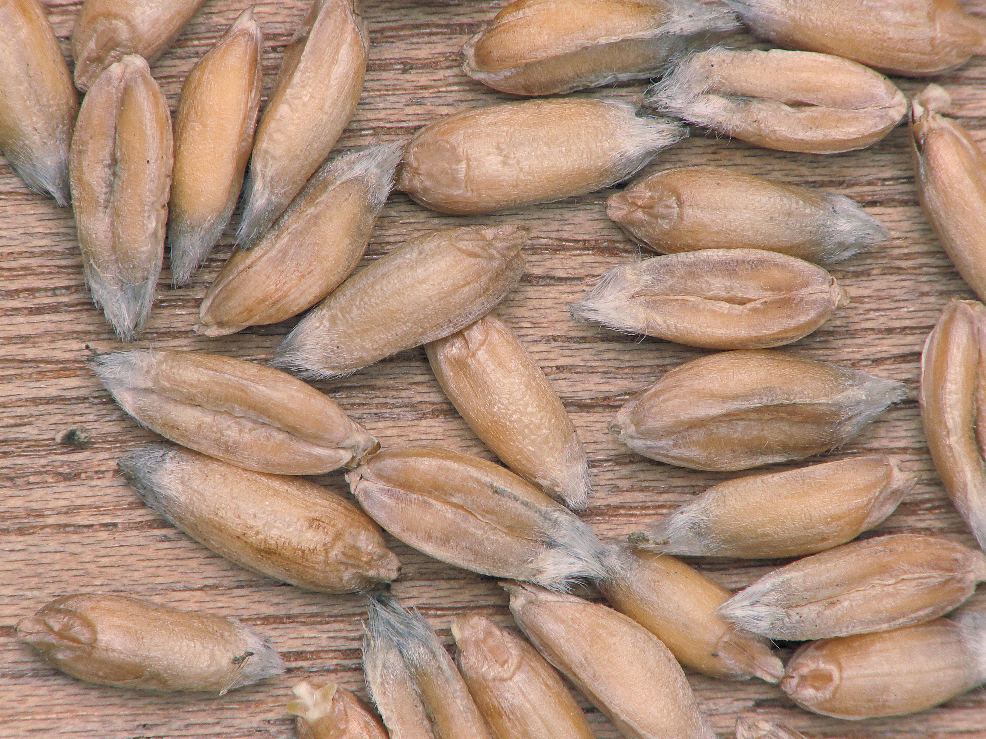 Image of spelt wheat