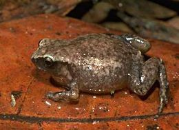 Image of Robust Frog