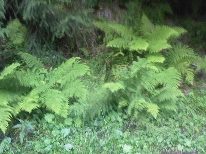 Image of male fern