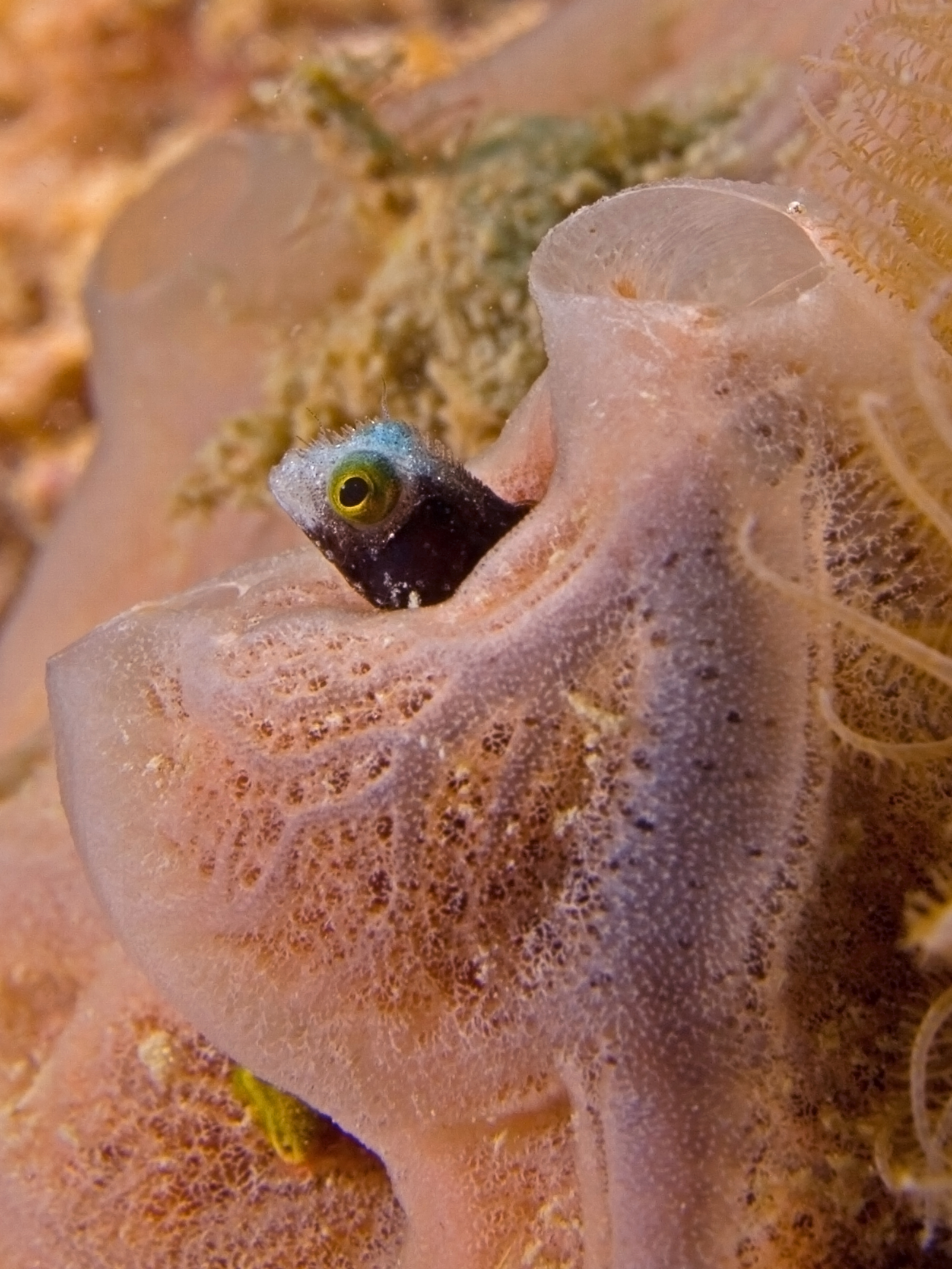 Image of Spinyhead Blenny