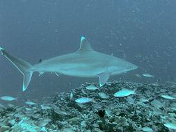 Image of Silvertip Shark