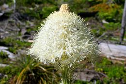 Image of Bear-grass