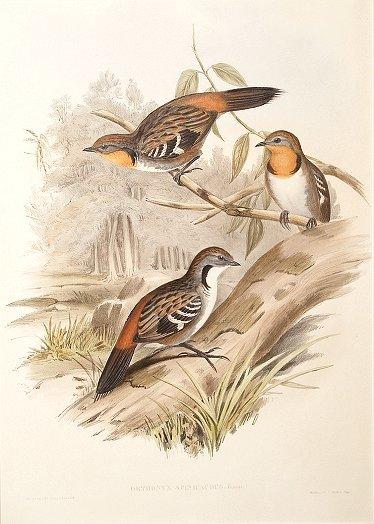 Image of Australian Logrunner