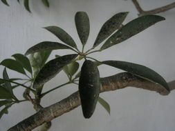 Image of Dwarf Umbrella Tree