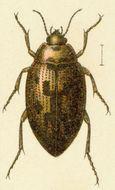 Image of <i>Haliplus variegatus</i> Sturm 1834