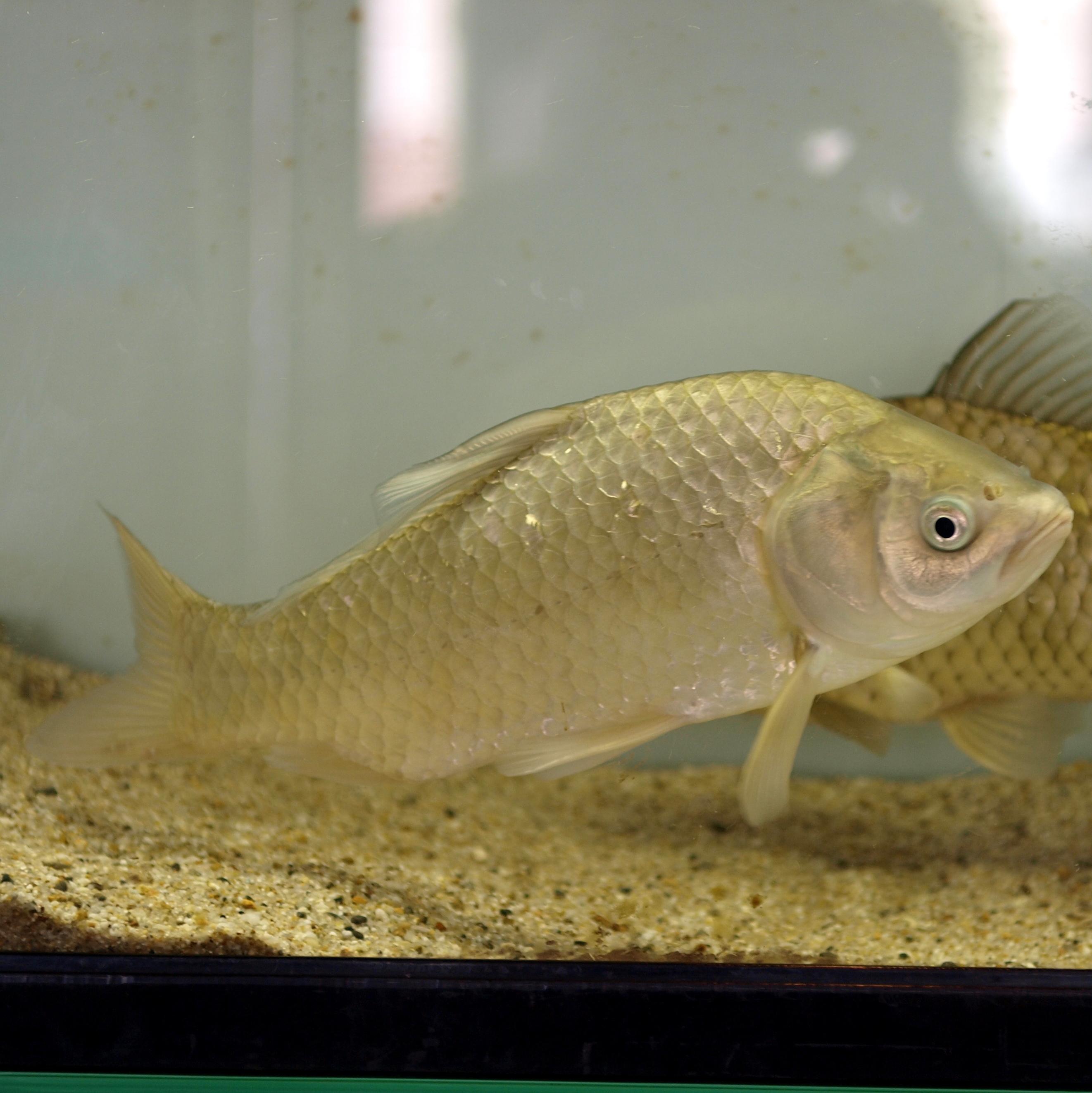 Image of Japanese crucian carp