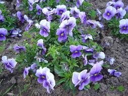 Image of Horned Violets