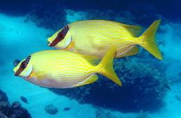 Image of Bluelined rabbitfish