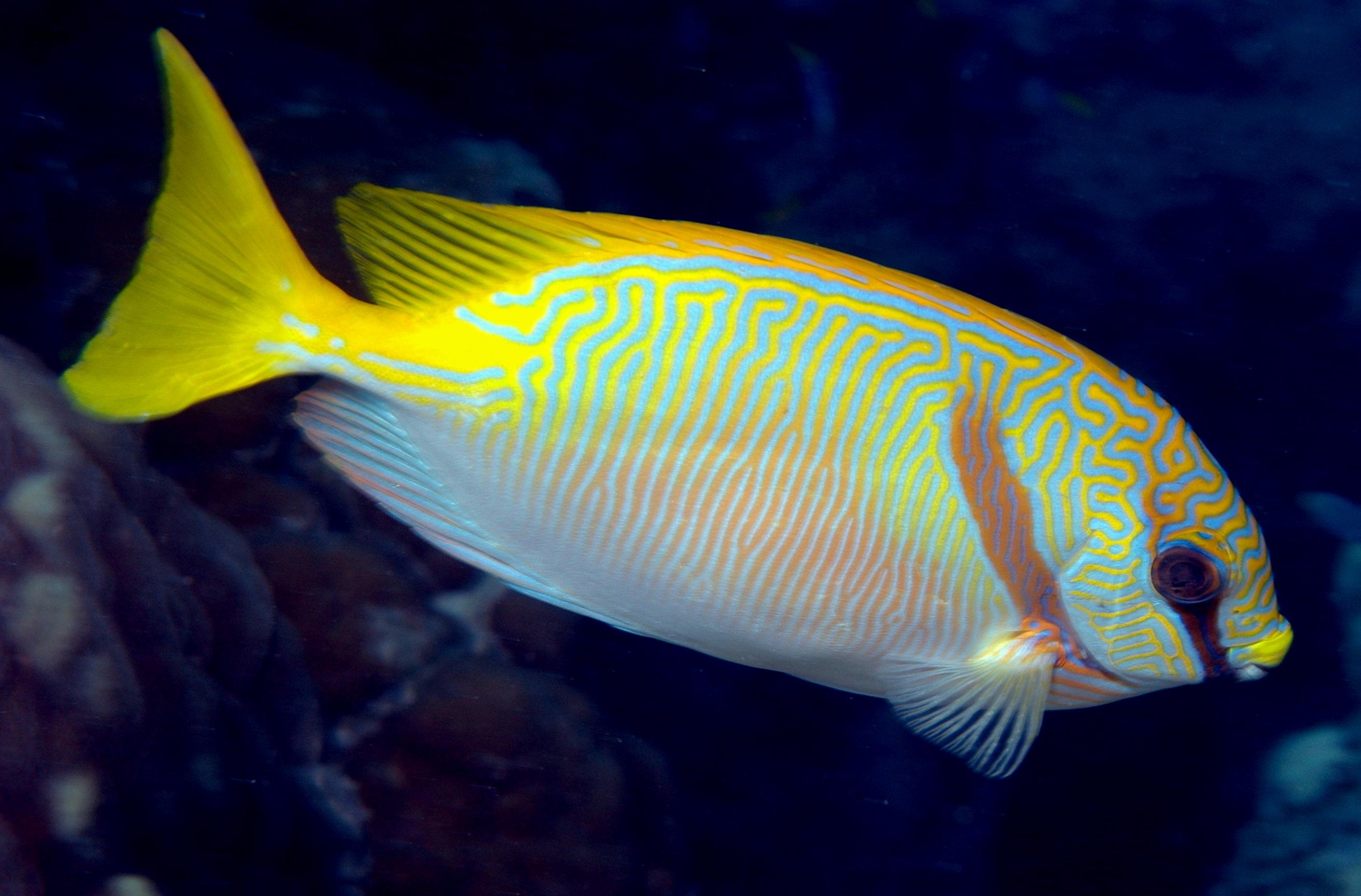 Image of Barred rabbitfish