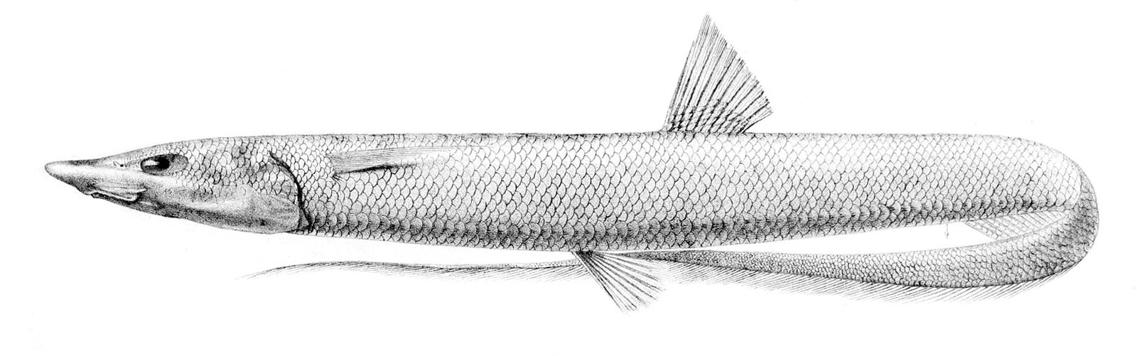 Image of Halosaur