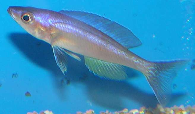 Image of <i>Cyprichromis leptosoma</i> (Boulenger 1898)