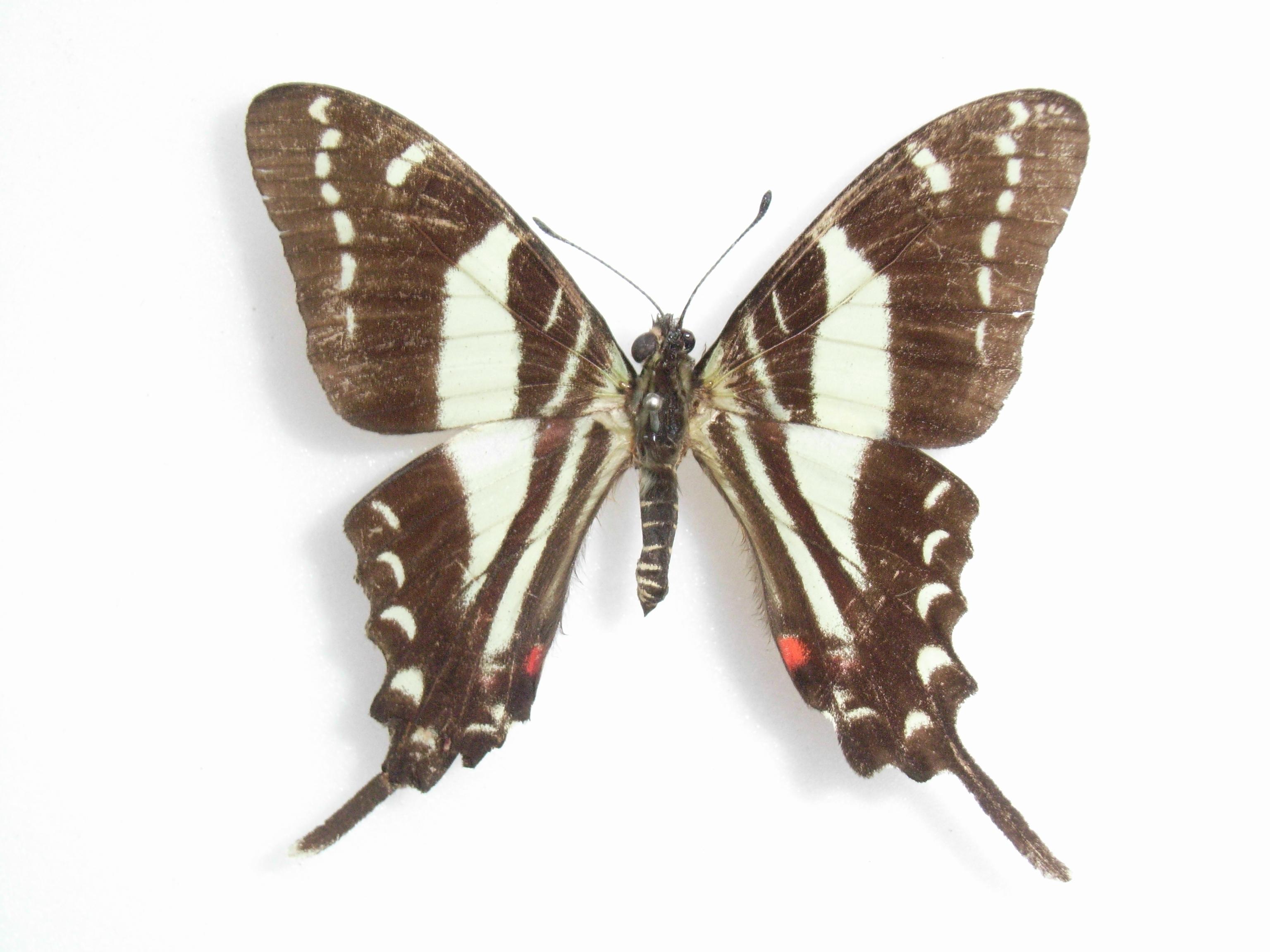 Image of Jamaican Kite
