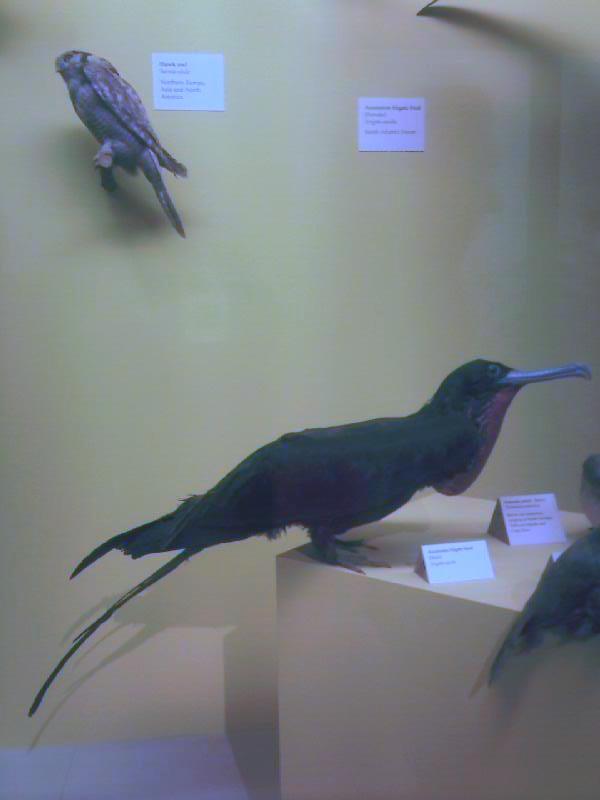 Image of Ascension Frigatebird